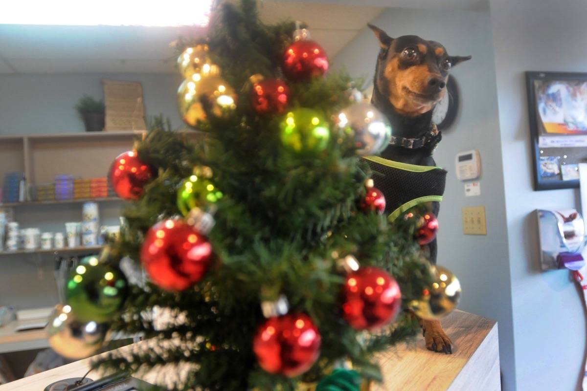 Needles from Christmas trees are more harmful to pets than the possibility of ticks. (Colleen Flanagan – THE NEWS)