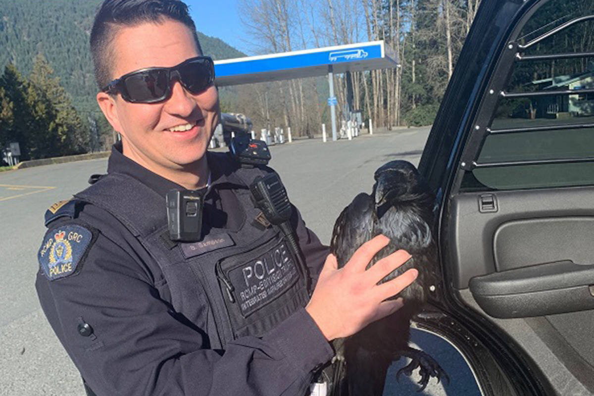 RCMP rescue wounded raven on Vancouver Island highway