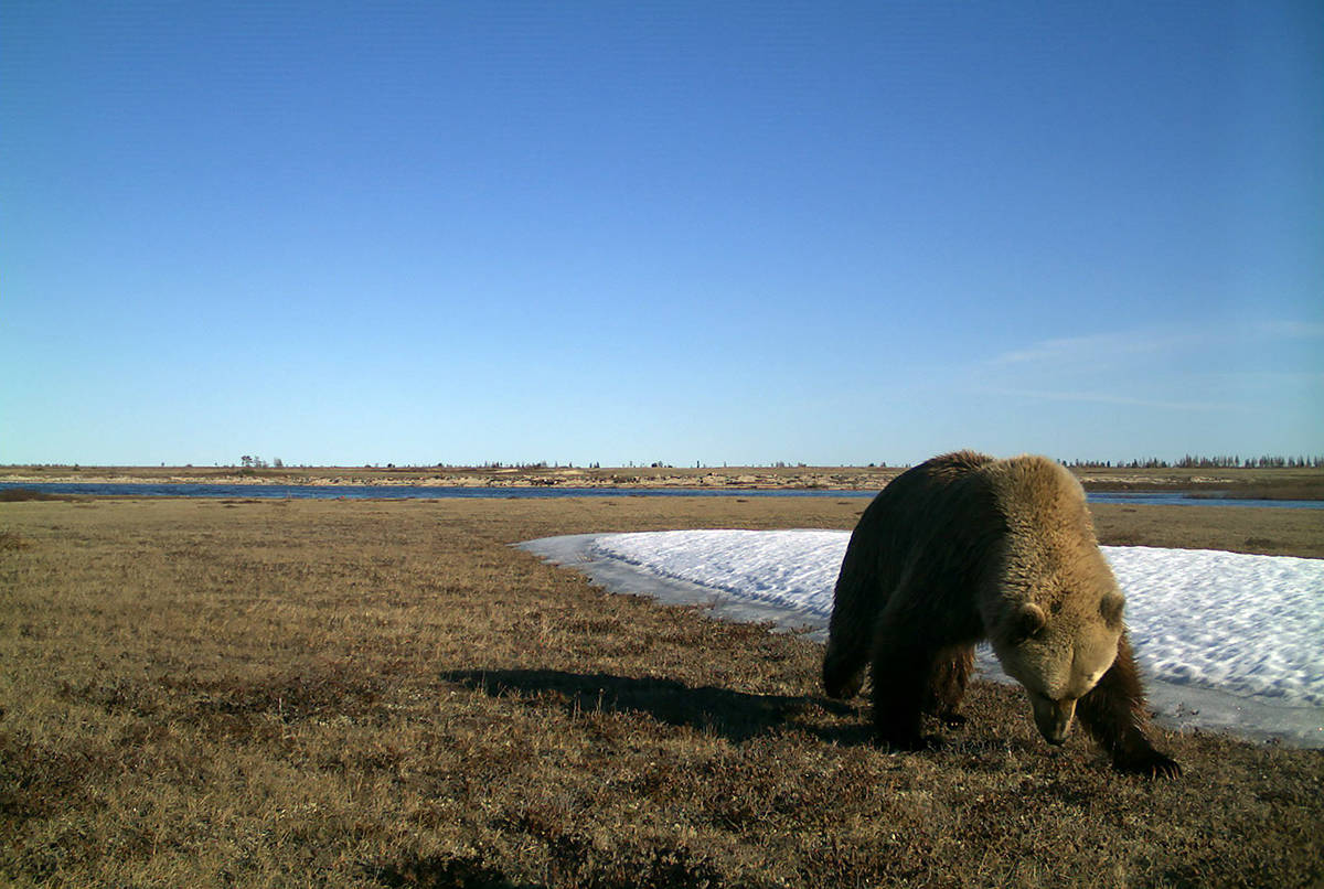 A Grizzly bear is seen in a field, captured by a remote camera in Wapusk National Park, Man., in a 2017 handout photo. Wapusk is one of many areas where researcher Douglas Clark says the bears are expanding their range in Canada. THE CANADIAN PRESS/HO-University of Saskatchewan, *MANDATORY CREDIT*