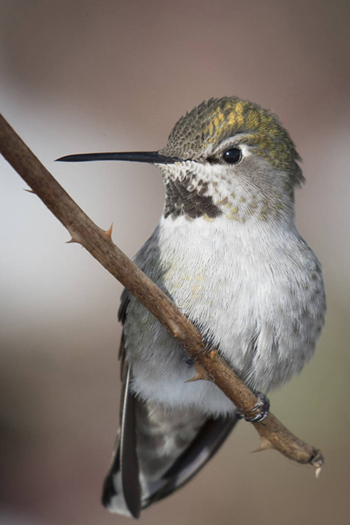 A rarely-seen Anna's hummingbird was spotted during last year's count. (John Gordon Photography/Special to the Langley Advance Times)