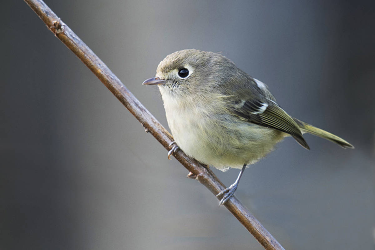 Despite the poor weather last year, there was a sighting of a rare Hutton's vireo up at Langley Memorial Hospital. (John Gordon Photography/Special to the Langley Advance Times)
