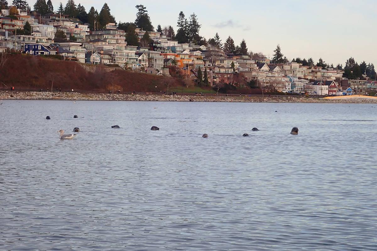 Seals, sea lions and seagulls have had plenty to eat off White Rock's pier. (Leona Kustra photo)