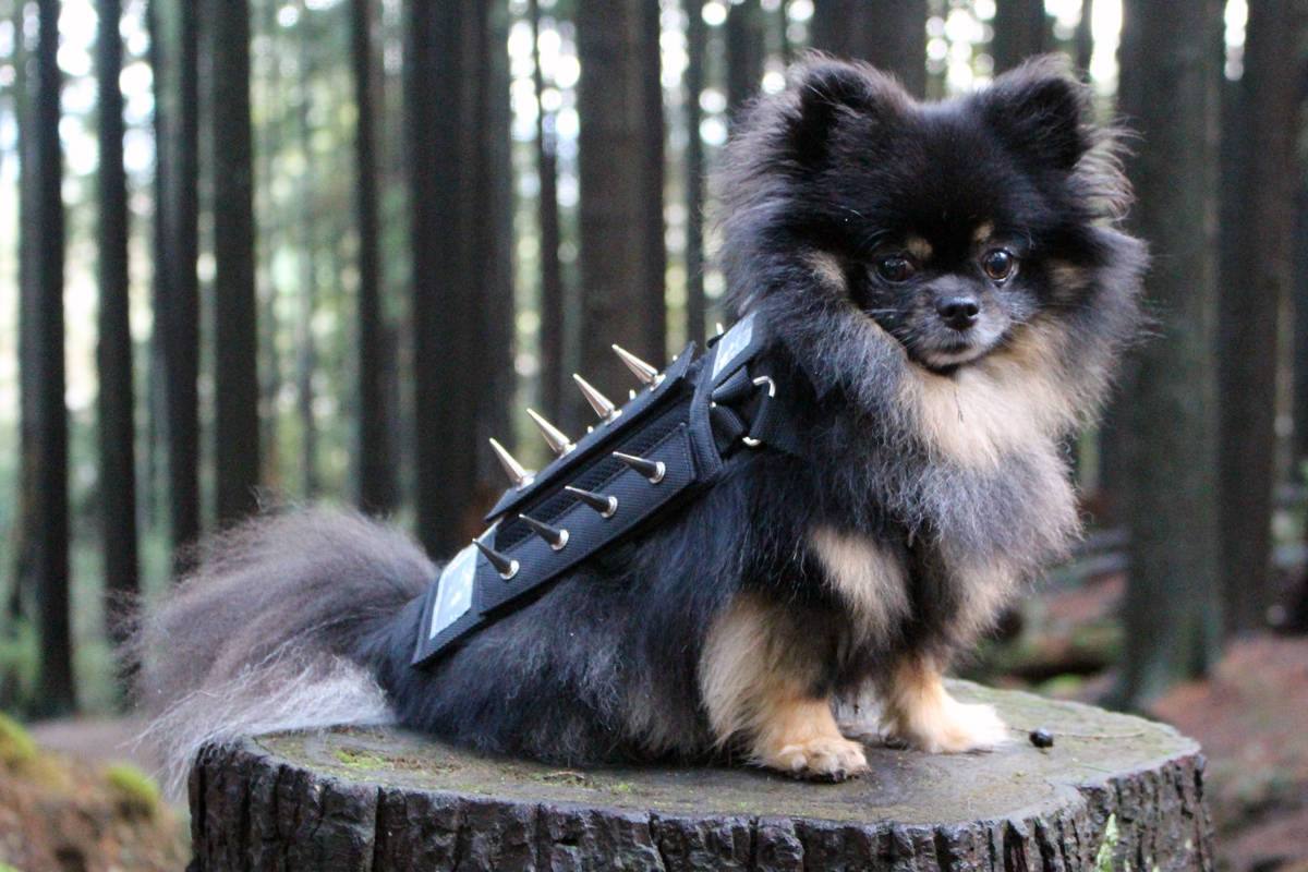 A small dog wearing a specialized harness called PredatorBwear. The harness was developed in North Vancouver and will be available for purchase next year. (PredatorBware photo)