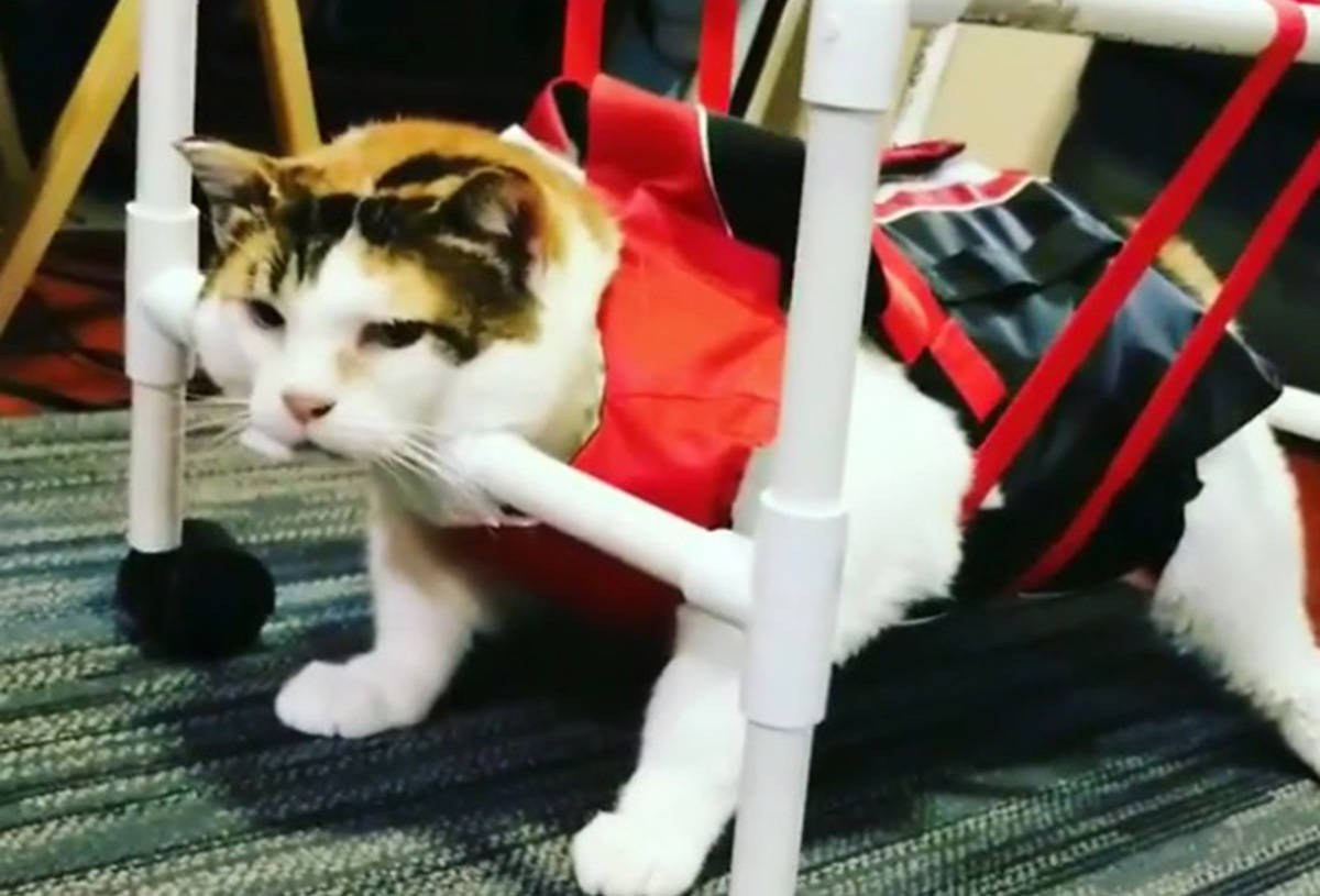 Wanda, a six-year-old house cat, has managed to lose 10 pounds in one year's time thanks to Prince George veterinarian. (Osaka Animal Hospital/Instagram)