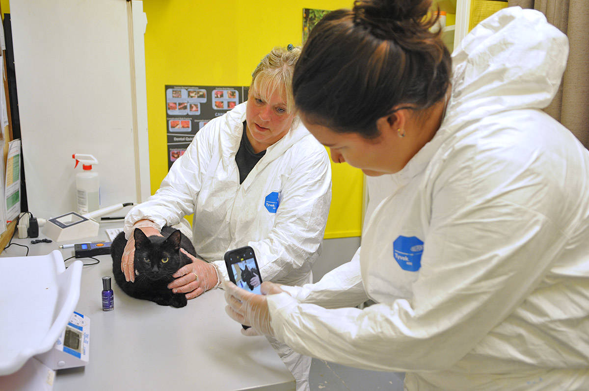 Animal care attendants Kimberly Berry (left) holds a cat steady while Stephany Davidson photographs it on Aug. 8, 2019. The cat was one of dozens that was taken into the Chilliwack SPCA from a cat hoarder in Maple Ridge. (Jenna Hauck/ The Progress)