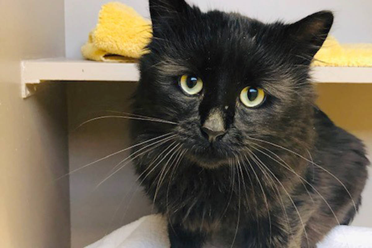 Donnie Darko is one of four adoptable cats rescued from a bad situation earlier this year, and now comfortable enough around humans to go to a new home. (LAPS BC)