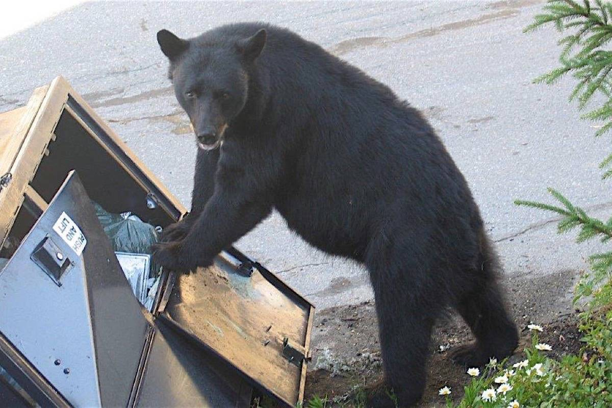 Bears coming into communities attracted to improperly stored garbage or fruit remain the biggest source of wildlife conflicts in B.C. (B.C. Conservation Officer Service)
