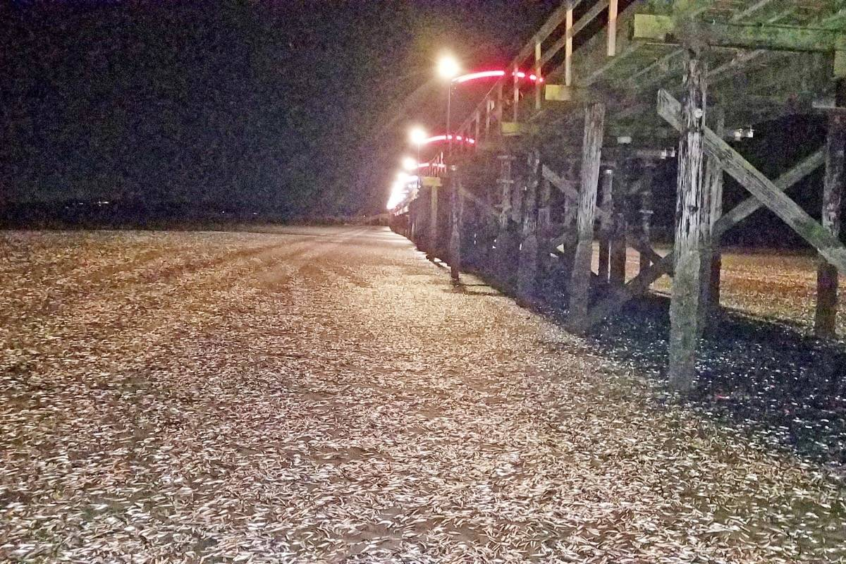 A midnight photo on Christmas Day shows thousands of dead fish by White Rock's pier. (Contributed photo)