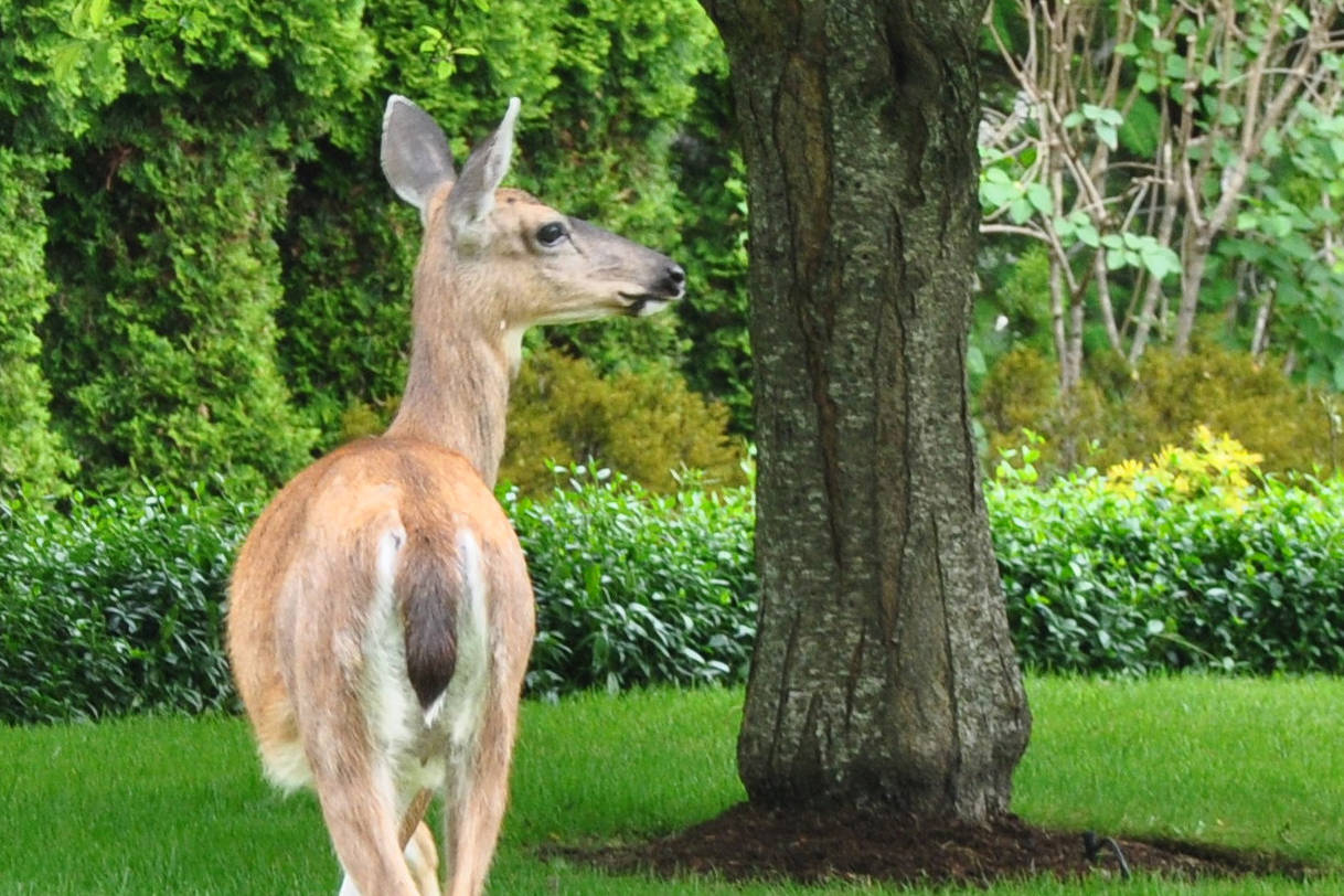 A judge issued $8,000 worth of fines after a man wounded a deer, out of season and without a licence, and left the animal to suffer. (File photo)