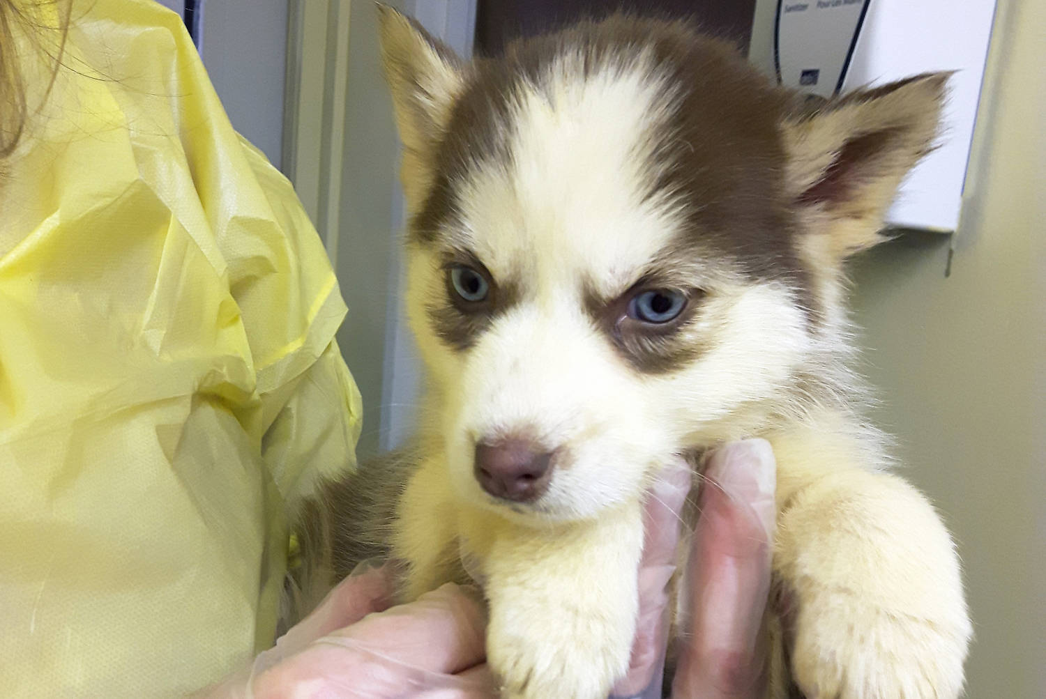 One of 17 eight to 10-week-old husky puppies found living outside in the cold and snow on a B.C. Interior property. (Contributed)