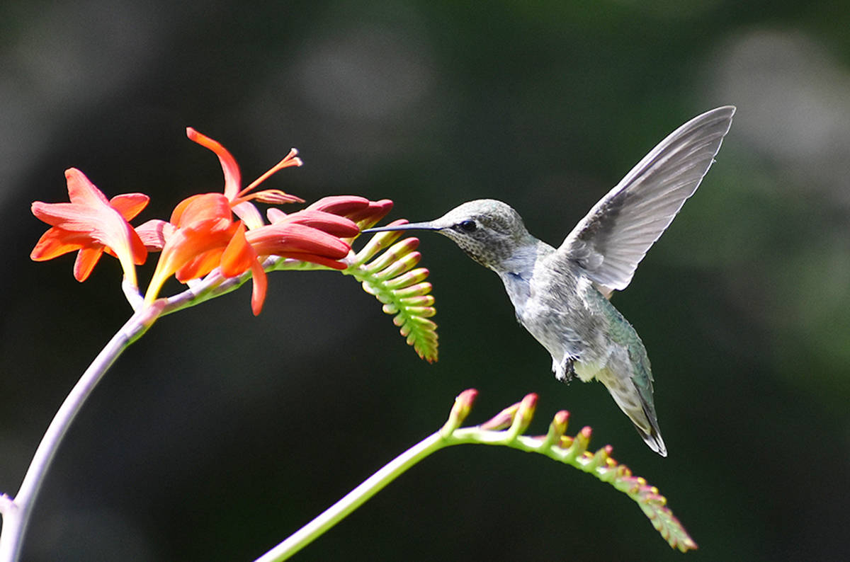 """'Humdinger of a shot' by Terry Farrell with the Comox Valley Record. """"The crispness and detail of the wings is a shot rarely seen. Plenty of hummingbird photos around, but rarely will there be no blur whatsoever."""""""