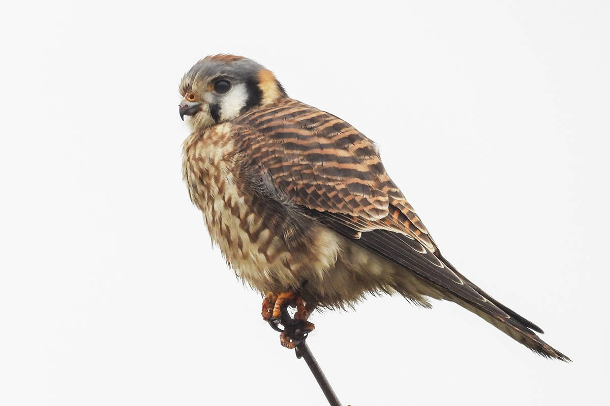 Bird count organizer John Gordon captured this image near Maxwell Crescent in Milner of an American Kestrel. The 120th annual bird count was conducted in Langley, as well as other areas of the Lower Mainland, on Saturday (Dec. 28).(John Gordon/Special to Langley Advance Times)