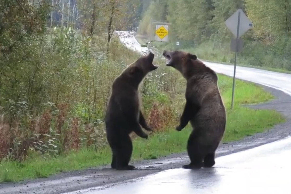 Cari McGillivray posted head-turning video of two grizzly bears fighting, shot near Stewart, B.C., to social media on Friday, Sept. 20, 2019. (Screenshot)
