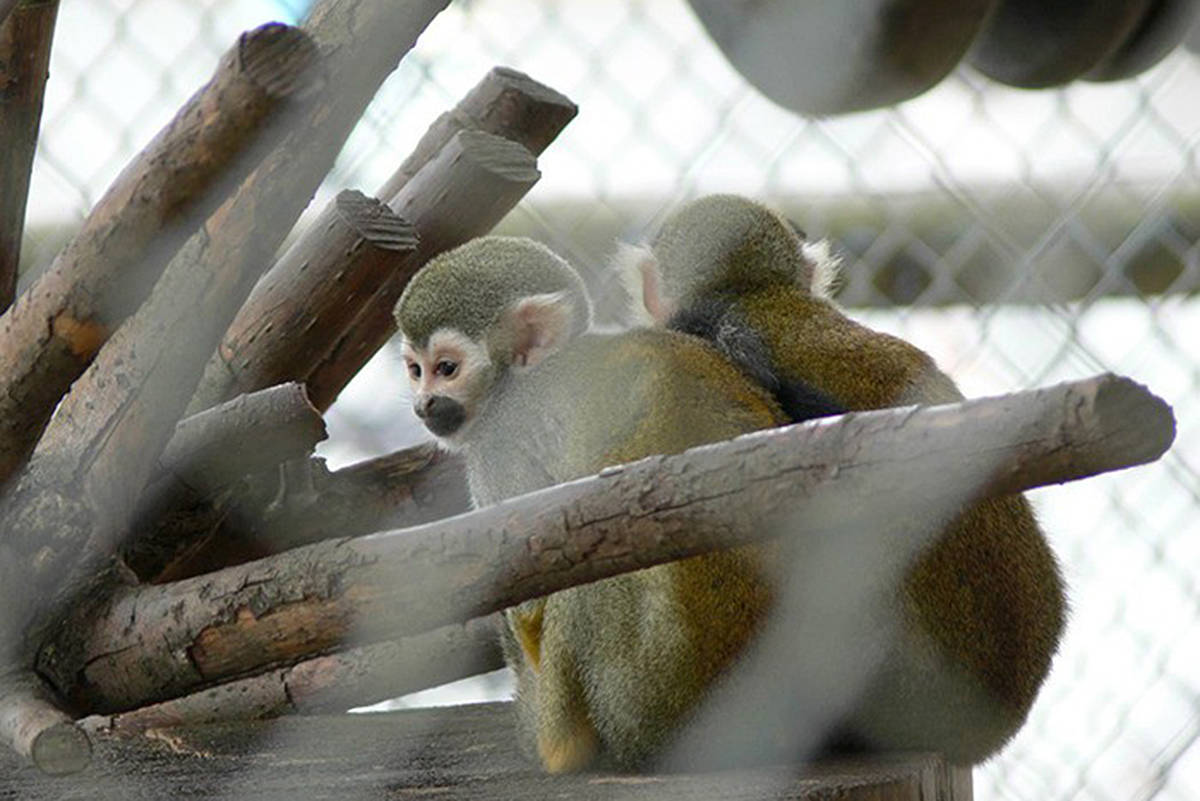 Squirrel monkeys from the Amazon Basin are among the animals on display at the Greater Vancouver Zoo in Aldergrove. A report released Monday (Dec. 30) by the Vancouver Human Society said the zoo should move away from species 'unsuited' to the B.C. climate. (Langley Advance Times file)