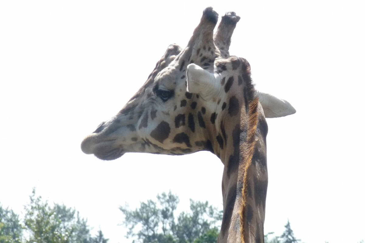 """A giraffe at the Greater Vancouver Zoo in Aldergrove. A report released Monday (Dec. 30) by the Vancouver Human Society said the giraffe enclosure has not been improved since a 2003 report that called it """"barren and lacking in any stimulation."""" (Langley Advance Times file)"""