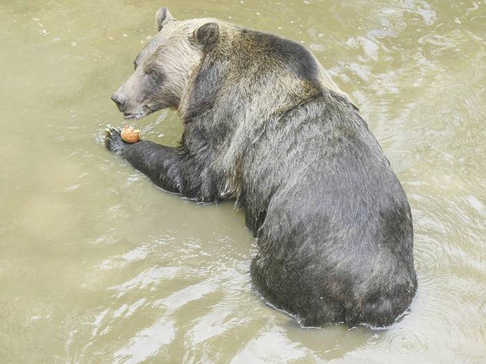Shadow the grizzly eats an apple inside her enclosure at the Greater Vancouver Zoo. (Langley Advance Times file photo)