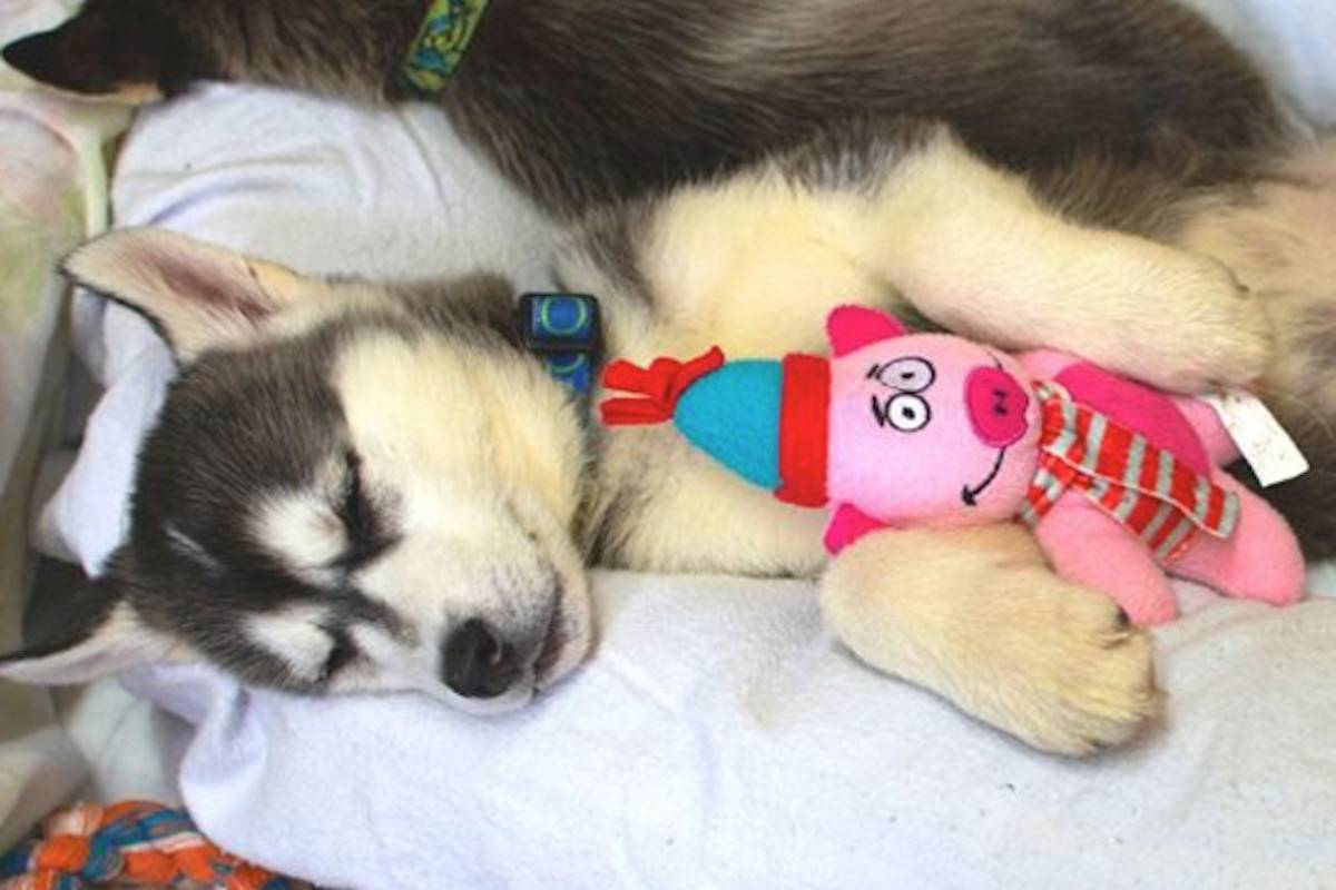 The puppies are named after a northern theme. Image: BC SPCA                                The puppies are named after a northern theme. Image: BC SPCA