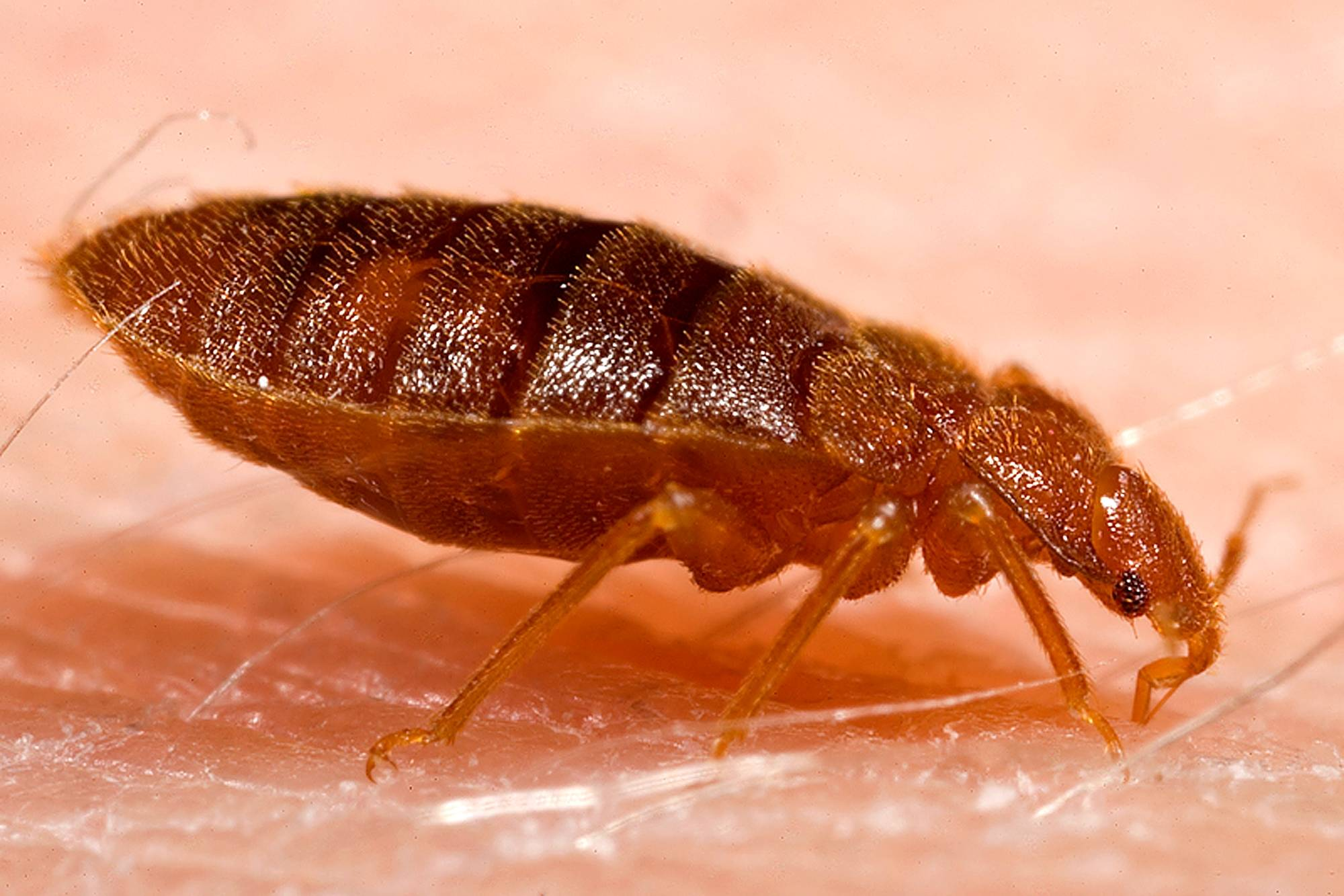 Entomologists say having a clean room does not prevent bed bugs, which can each lay up to five eggs in one day. (Wikimedia Commons)