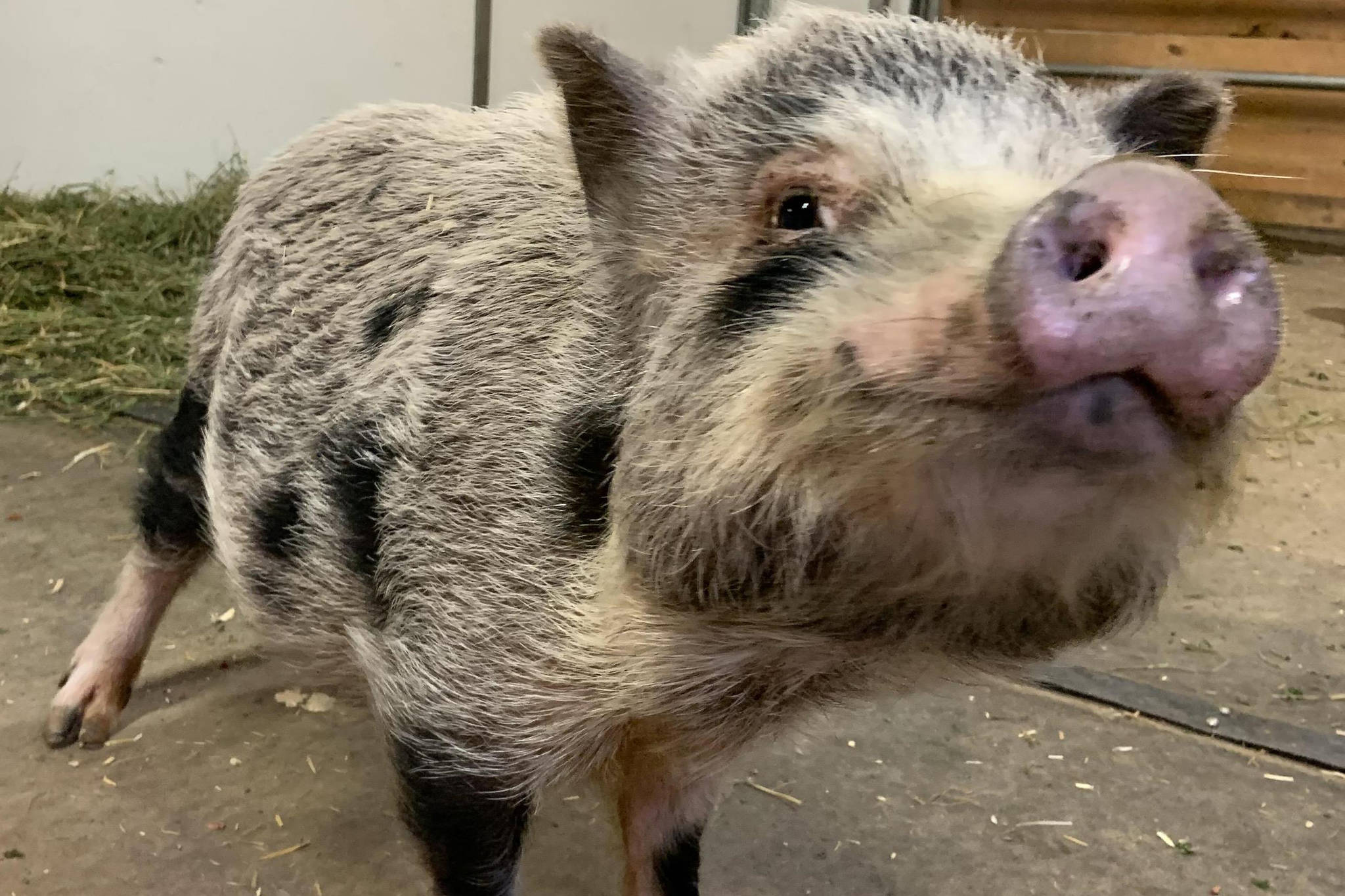 Marigold the pot-bellied pig was surrendered after a cruelty investigation in Chilliwack and is living at the BC SPCA's Surrey Good Shepherd Barn. (Submitted)