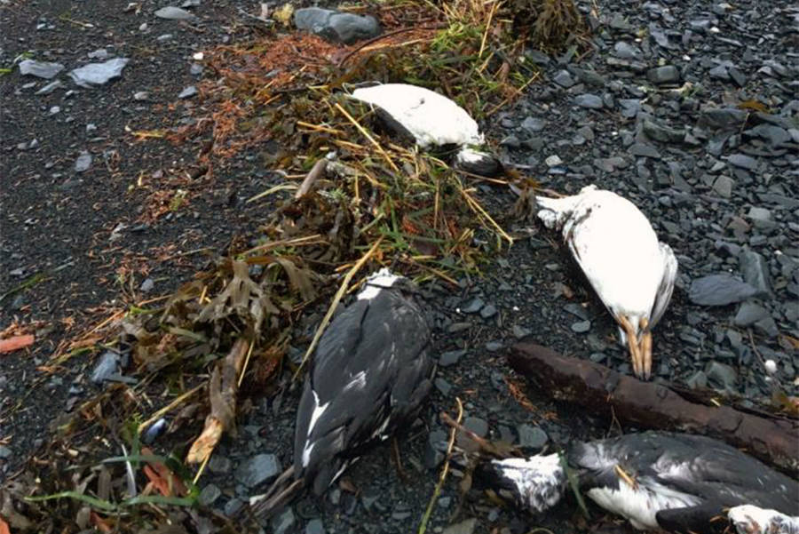 On Jan. 1 and 2, 2016, 6,540 common murre carcasses were found washed ashore near Whitter, Alaska, translating into about 8,000 bodies per mile of shoreline – one of the highest beaching rates recorded during the mass mortality event. (Photo by David B. Irons)