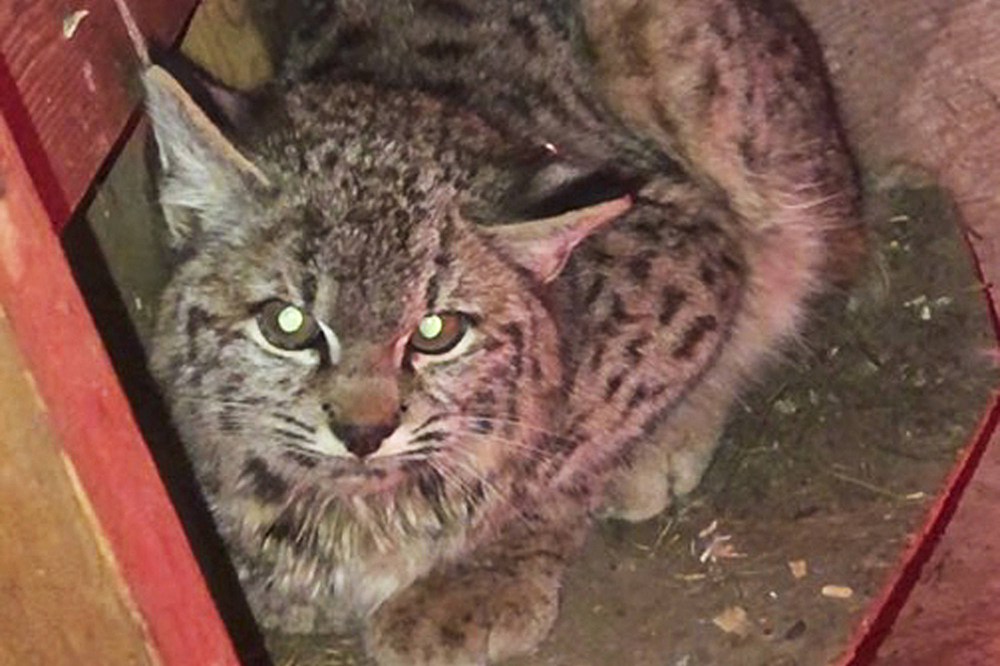A young bobcat took up residence in a Salmon Arm couple's bird coop and had to be scared out. (Jim Hilland photo)