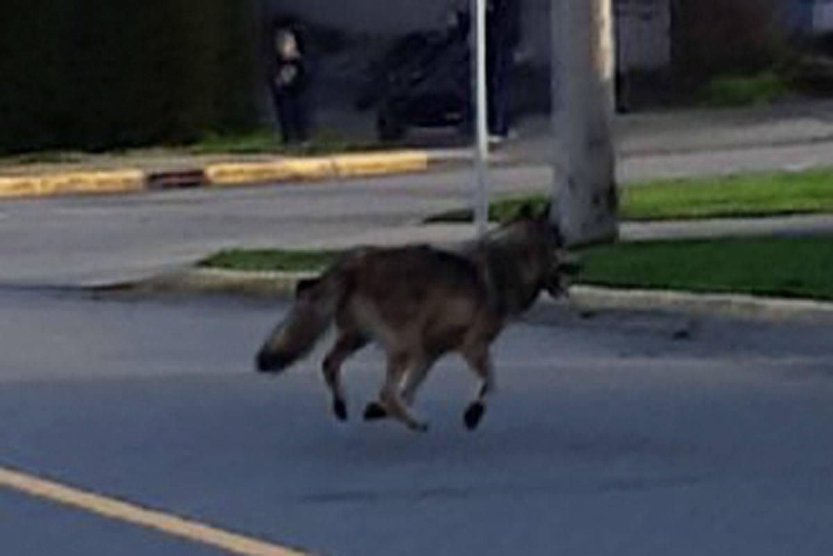 Victoria-area wolf tranquilized after being seen running around neighbourhood