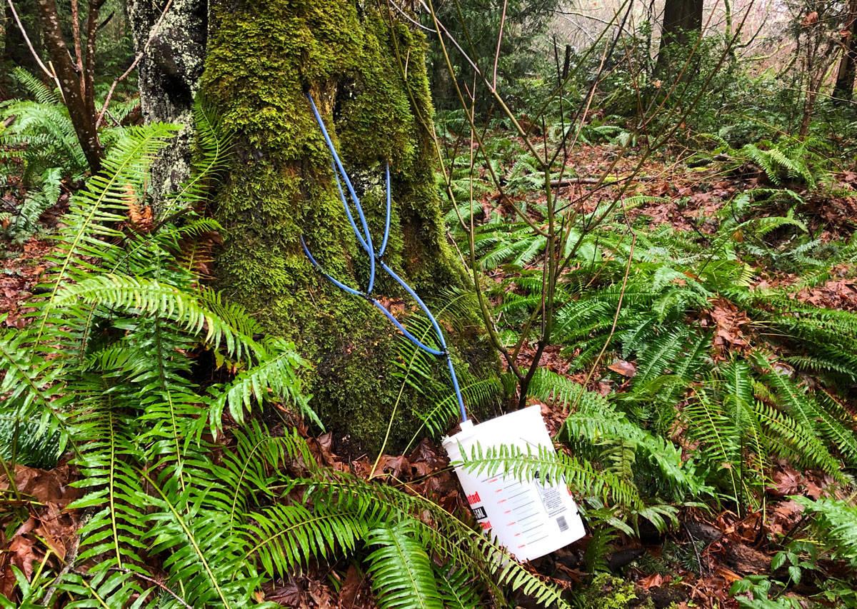 A sneaky sap thief has added four taps to this large maple tree in Mount Douglas Park. (Devon Bidal/News Staff)
