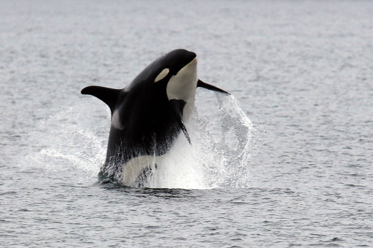These Southern Resident orcas breached off the coast of Hat Island on Sept. 21, 2019. Professional photographer Bart Rulon caught them while on a Puget Sound Express whale-watching tour from Edmonds. (Bart Rulon/ BartRulon.com)