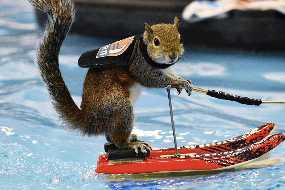 Twiggy the waterskiing squirrel is being featured at the Vancouver International Boat Show. (Twiggy Inc)