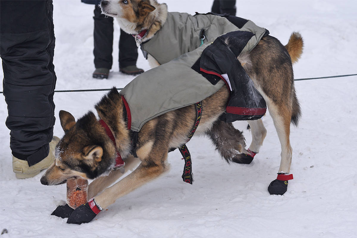 One of Allen Moore's dogs digs into a snack after reaching the Dawson City checkpoint on Feb. 6 during the Yukon Quest. The dog is wearing a fox tail, a piece of fur worn around a dog's underbelly to protect its genitals from wind and frostbite. (John Hopkins-Hill/Yukon News)