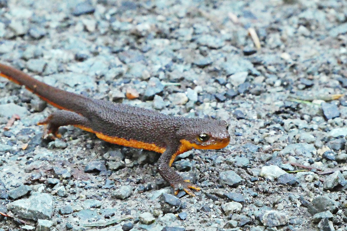 Pat Cooper sent us this photo of a rough-skinned newt, taken near the Houston Trail.