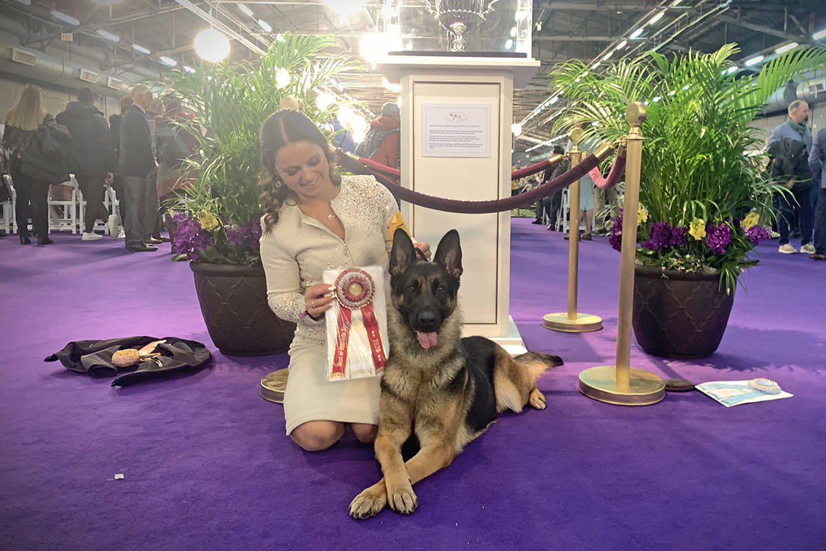 German shepherd Bella, seen here with her handler Courtney Penner, was the runner up in her breed at the 144th annual Westminster Kennel Club Dog Show in New York on Sunday. (Lindsey Hudspeth)