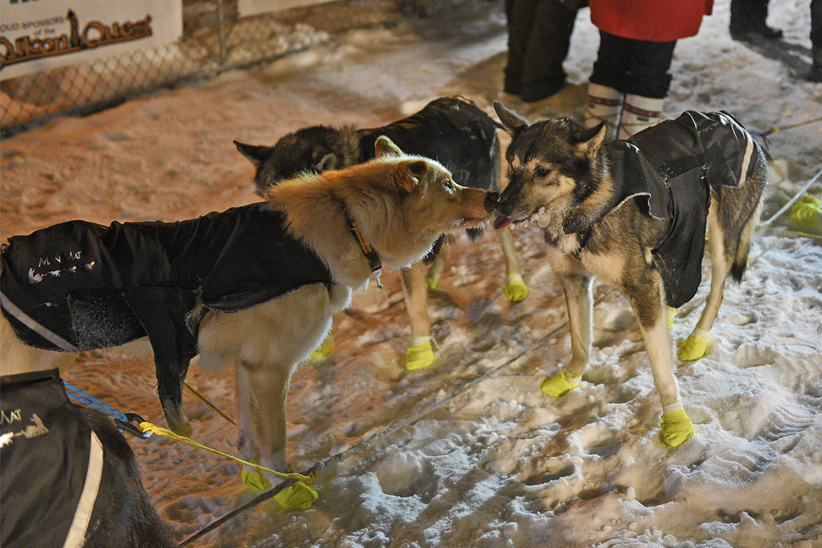 Some of Brent Sass's dogs lick each other's faces at the Dawson City checkpoint on Feb. 6 during the 2020 Yukon Quest. (John Hopkins-Hill/Yukon News file)