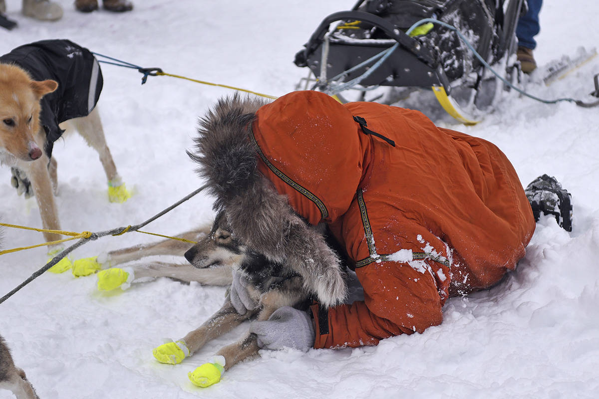 Brent Sass takes a moment to lie down next to one of his dogs, Hero, after winning the 2020 Yukon Quest on Feb. 11 in Whitehorse. The victory was the third for Sass in the race. (John Hopkins-Hill/Yukon News)