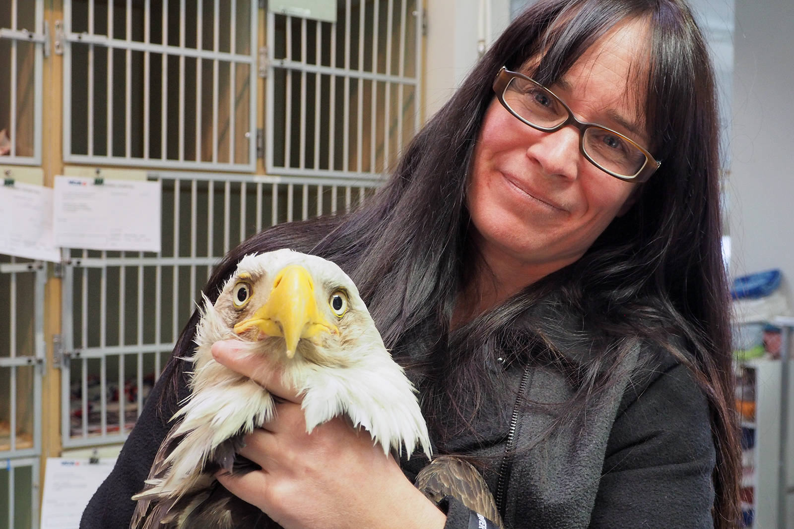 Tina Hein of the Raptor Rescue Society holds an eagle that was rescued after it ate poisoned meat on the weekend. The bird is one of several that were being released from care at Island Veterinary Hospital on Tuesday morning. (Chris Bush/News Bulletin)