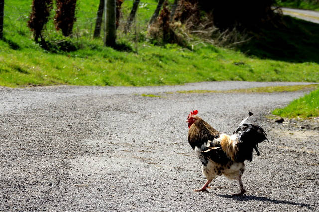 The BC SPCA's Sunshine Coast Branch is crying fowl on hobby farmers who are abandoning chickens along local roads. (Kenneth Allen photo)