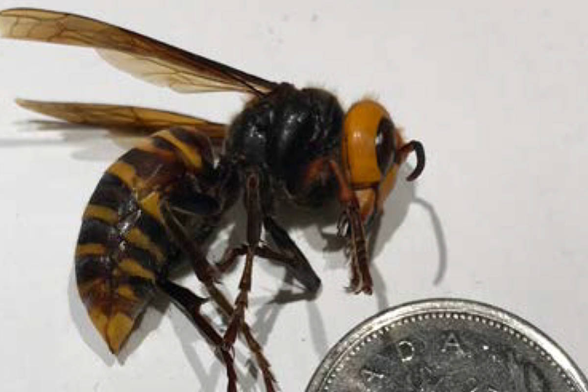The B.C. Ministry of Agriculture is asking 0 Avenue residents from Surrey to Aldergrove to be on the lookout for Asian giant hornets. (Contributed photo)