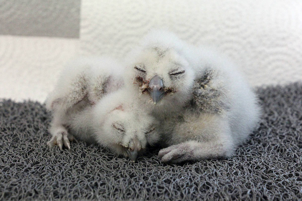 Fraser (8 days old) and Georgia (11 days old) were two of four Northern Spotted Owl chicks born at the NSOBP in 2019. (special to Langley Advance Times)