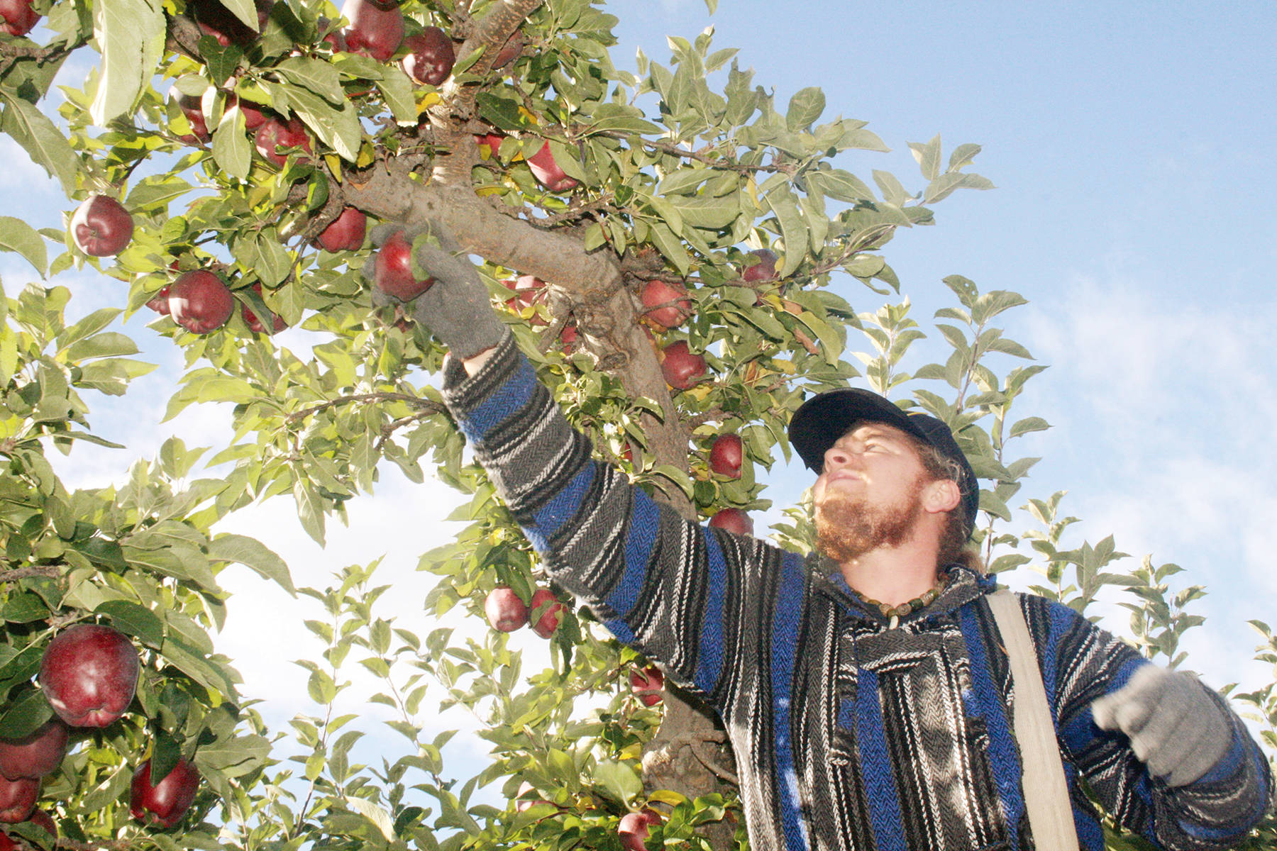 Hubert Pomerleau picks Red Delicious apples from an orchard in Summerland in this 2016 photo. This year, because of the COVID-19 pandemic, fruit growers throughout British Columbia will face additional challenges. (Summerland Review file photo)