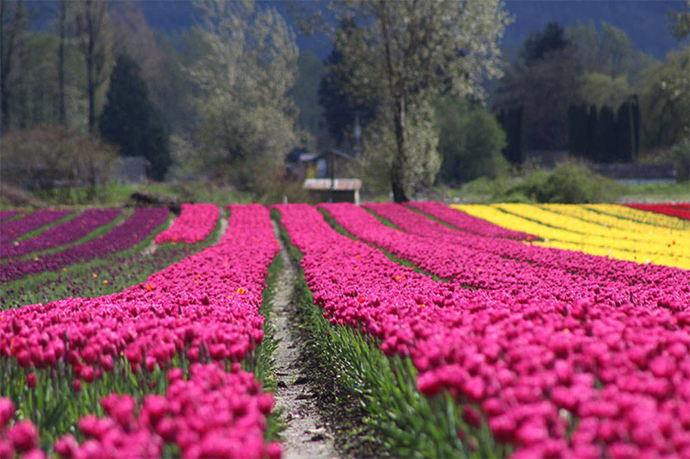 Tulips, daffodils and hyacinths are all part of the beauty at the Chilliwack Tulip Festival. The 2020 season of tulip festivals in Abbotsford and Chilliwack has been cancelled due to limits on large gatherings for COVID-19. (Submitted photo)