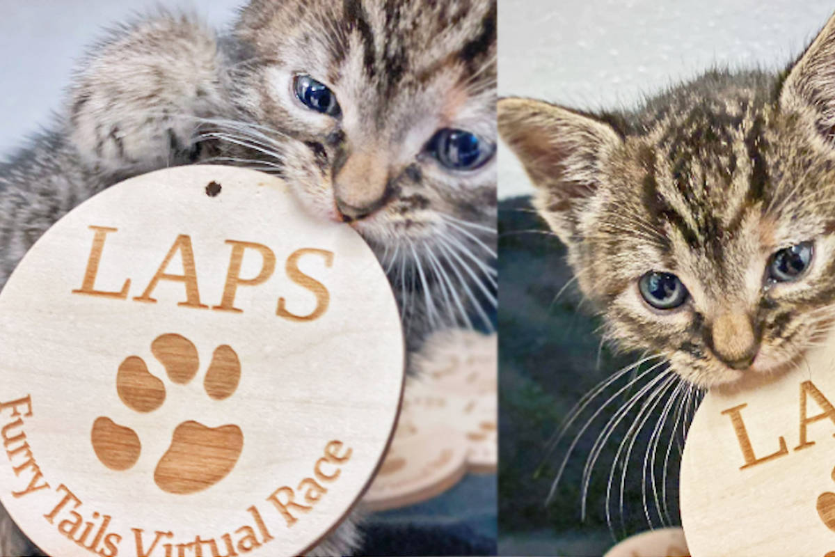 New LAPS kitten, Parsley, plays with the Furry Tails medal participants will receive after they finish the online race in-person. (LAPS photo)