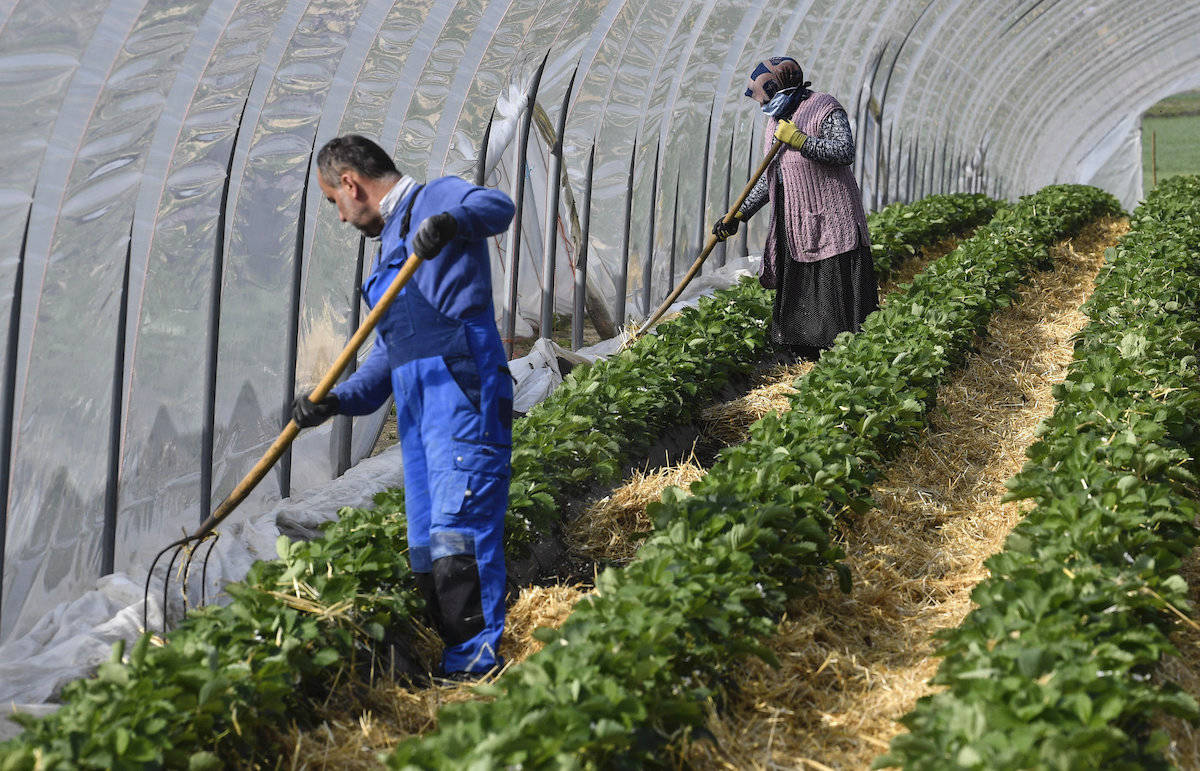 Local seasonal workers work at a strawberry field in Bottrop, Germany, Friday, April 17, 2020. Thousands of seasonal workers from Eastern Europe arrive with special flights to work in in secured groups at German farms because of the new coronavirus outbreak. Farms across Europe are facing a labour deficit as a result of the closed borders due to the COVID-19 pandemic. (AP Photo/Martin Meissner)