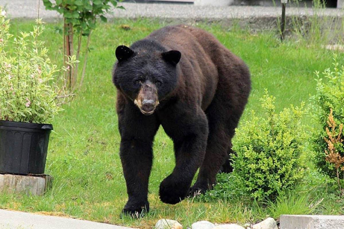 Impacted garbage, recycling service in B.C. prompts call for vigilance at start of bear season
