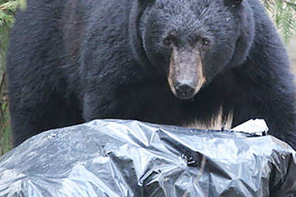 With waste and recycling services impacted in some communities due to the pandemic, BC Conservation says vigilance it's more important than ever to keep bears at bay. Black Press File Photo
