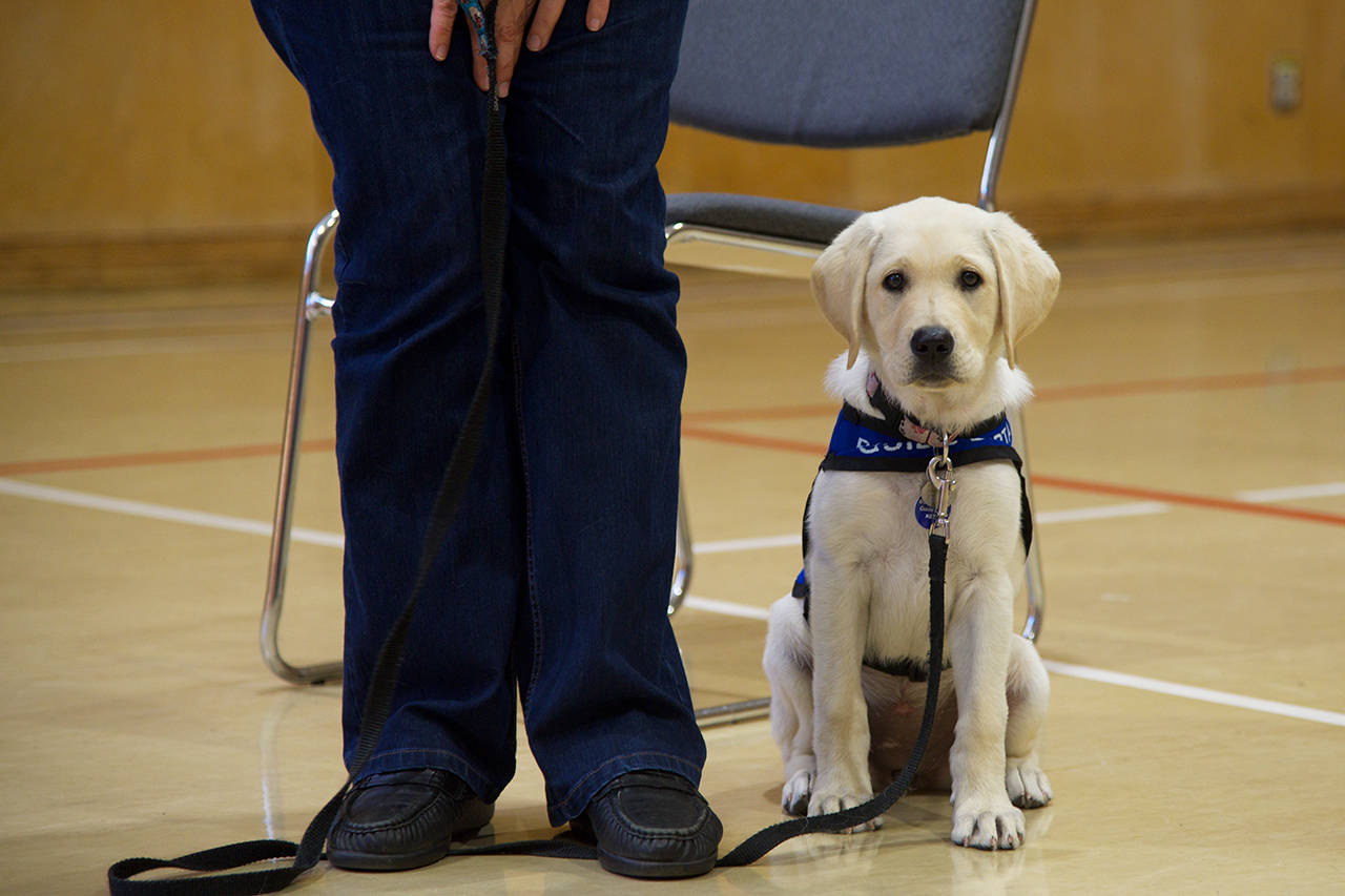 Blossom, an 11-week-old lab with her trainer, Cheryl Tradewell, in training to be a service dog with the BC and Alberta Guide Dog Society. (Nicole Crescenzi/News Staff)