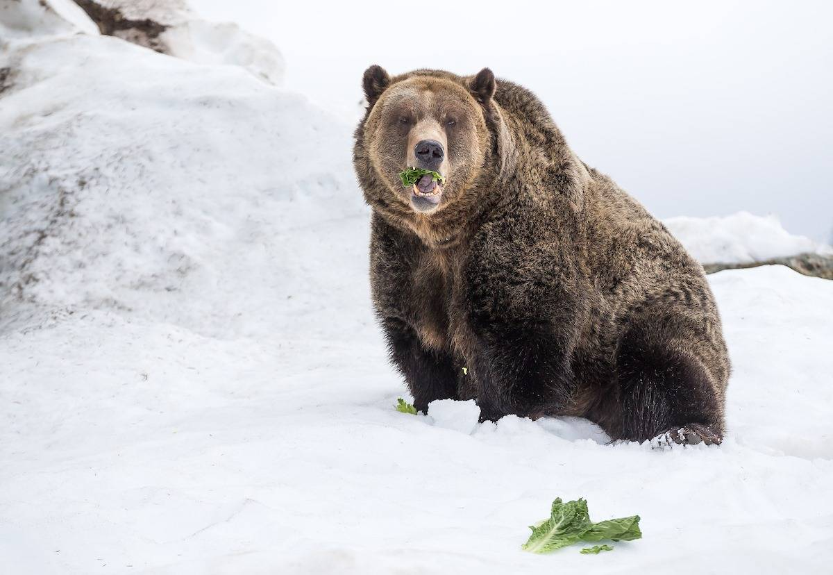 Grinder and Coola, two bears rescued from northern B.C. in 2001, awoke from their 19th hibernation at Grouse Mountain in North Vancouver, B.C., on Tuesday, April 21, 2020. (Grouse Mountain photo)
