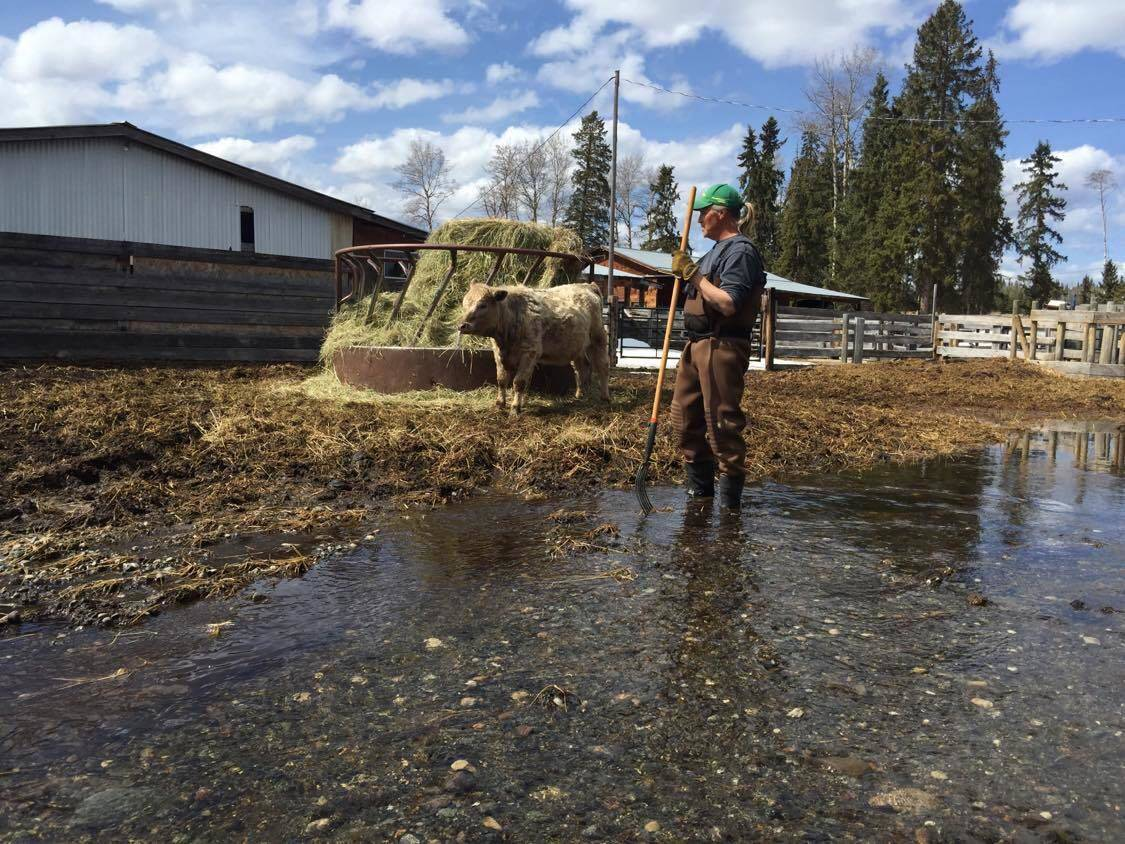 Ingemar Kallman of Rose Lake Ranch dons hip waders to go check his cattle. (Loreen McCarvill photo)
