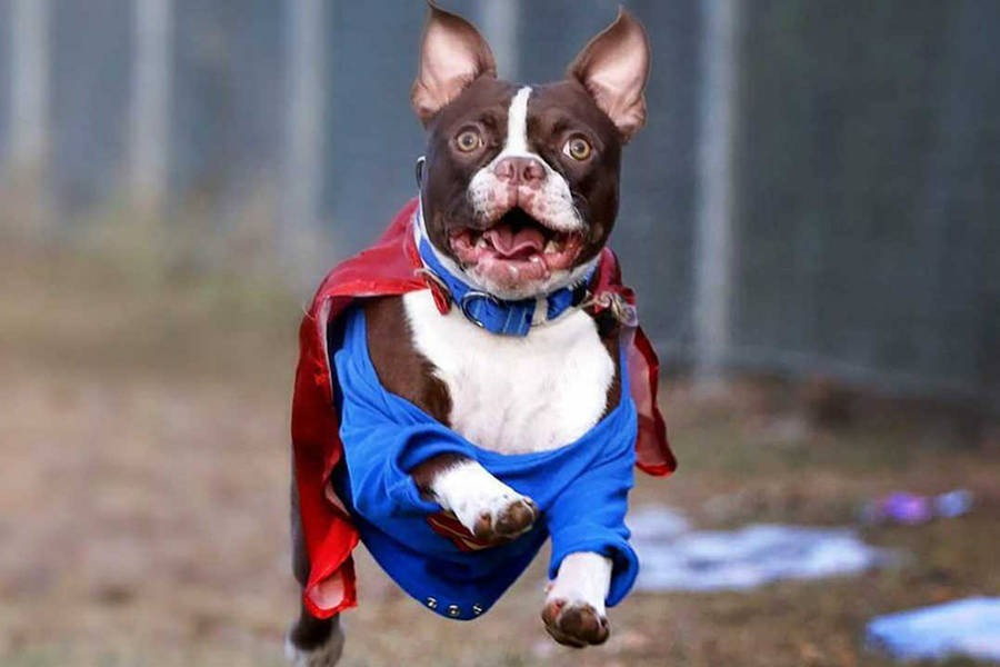 Vernon photographer Lisa Mazurek has been putting smiles on thousands of faces worldwide via social media, thanks to her model, Thor, a nearly one-year-old Boston terrier. (Lisa Mazurek photo)