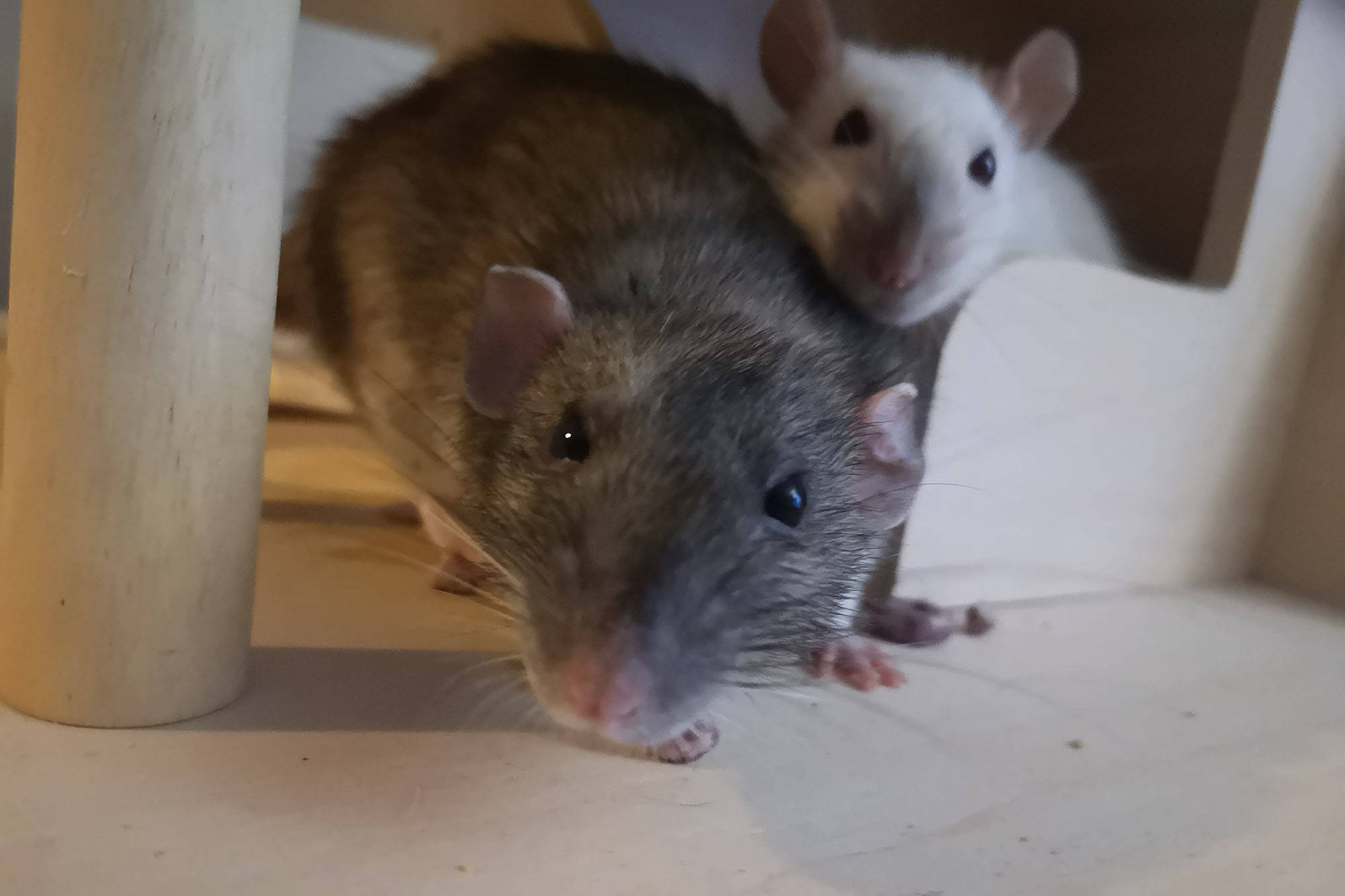 "Chelsey Johnson, 23, has been a happy ""rat mom"" for three years. She currently owns six pet rats. Here, two of her female rats Rayna (left) and Lilo (right) vie for her attention. Johnson says rats make excellent pets as they are usually affectionate with people and easy to care for. (Contributed)"
