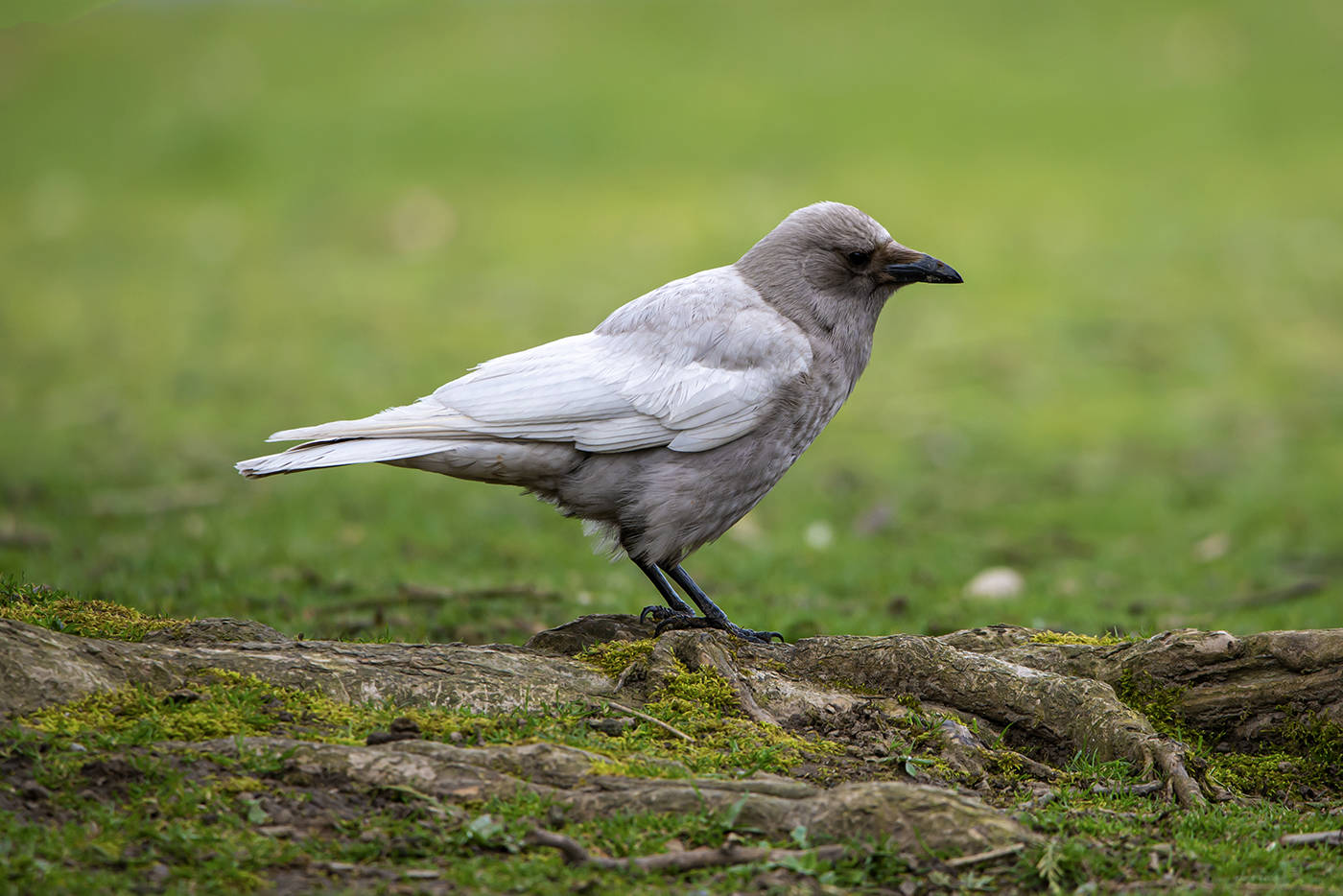Chilliwack's resident leucistic crow that lives in or near Sardis Park, photographed on April 7, 2020. (William Snow photo)